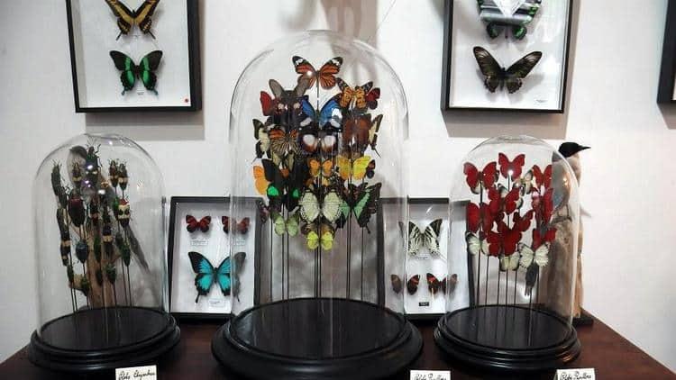 papillons sous cloche galerie Chardon