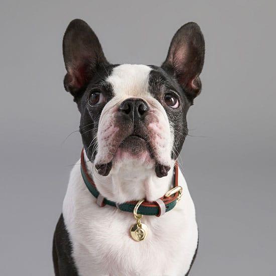 Un collier stylé, l'accessoire pour animaux nécessaire